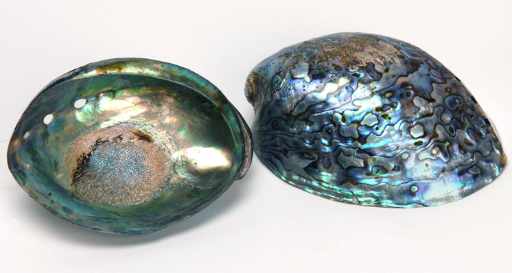 Diving into the World of New Zealand Paua Shells